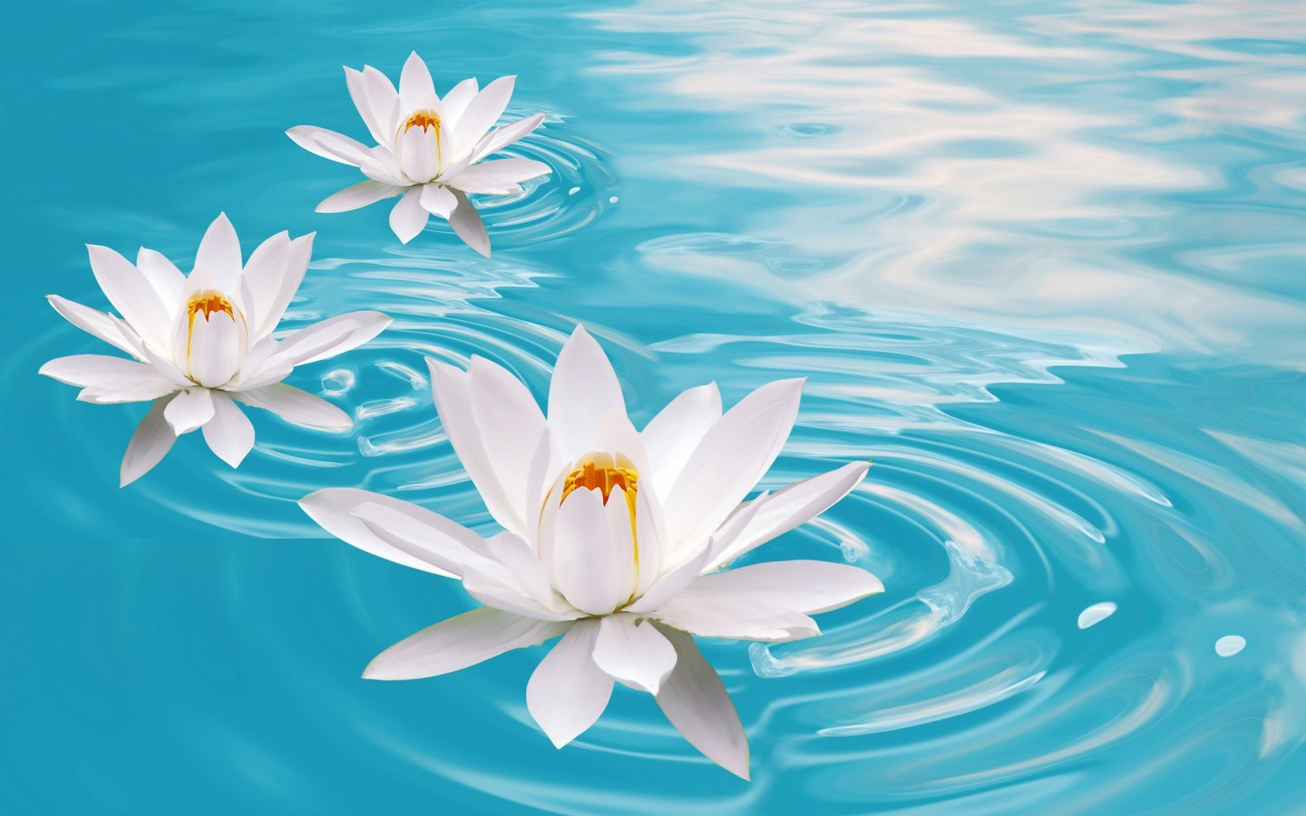 Water-Lilies-flowers